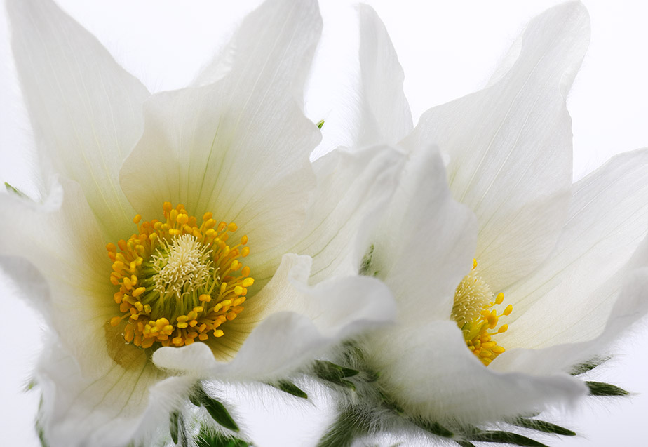 White Pulsatilla vulgaris (Pasque Flower)