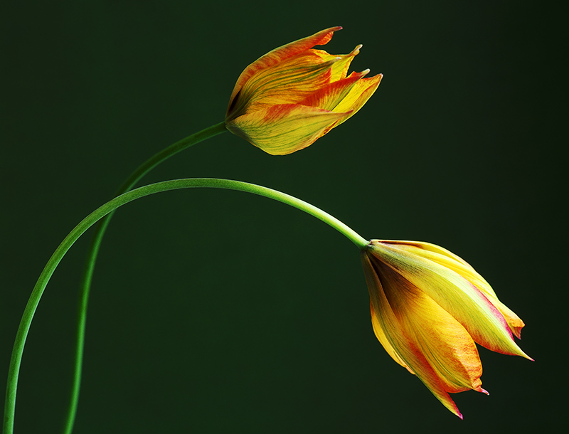 Striped flowers of tulipa orphanidea 'Flava'