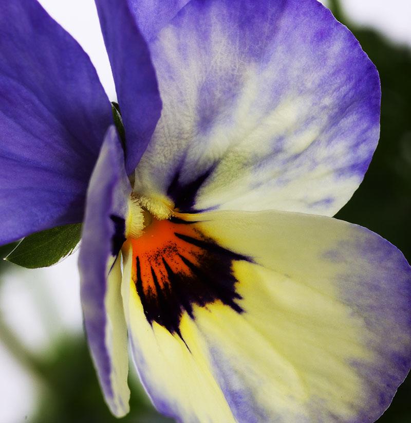 Centre of a violet.