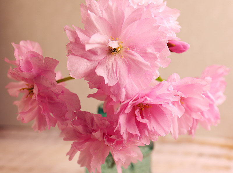 Double-flowered cherry blossom