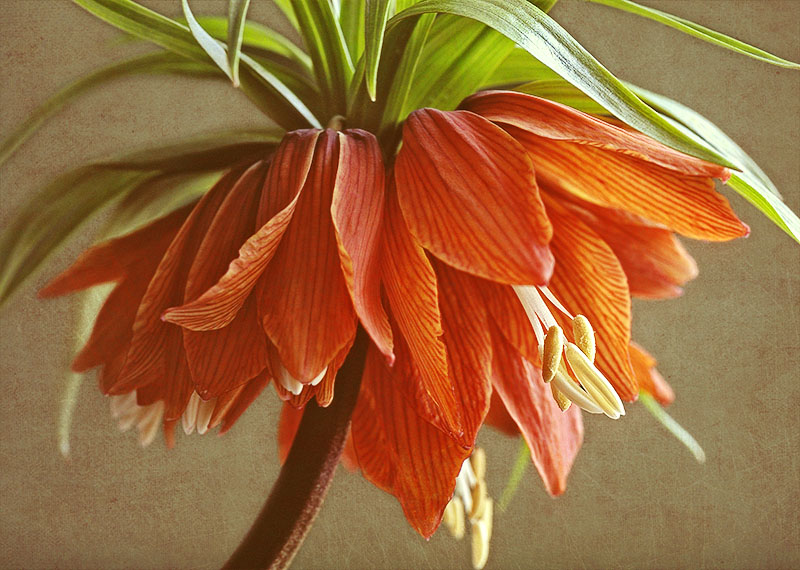 Orange 'Crown Imperial' fritillaries. (Fritillaria imperialis.)