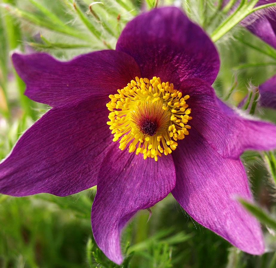 Purple pasqueflower (Pulsatilla vulgaris)