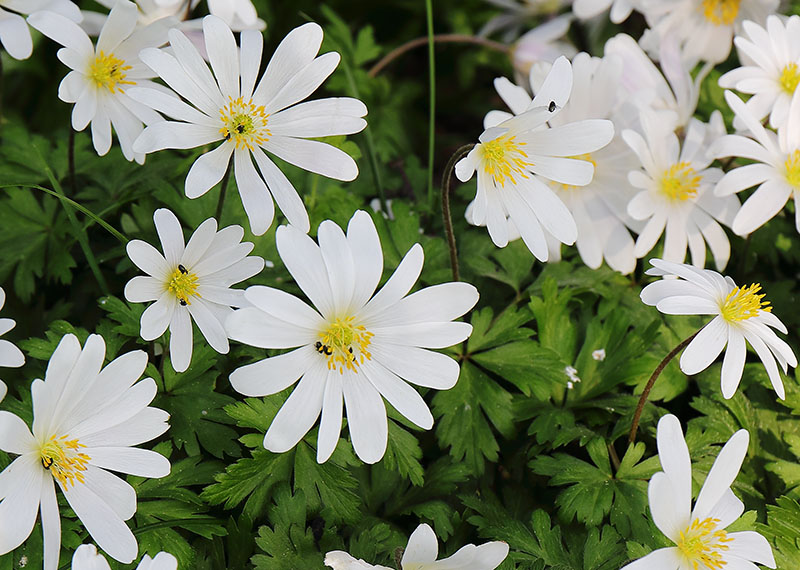 White flowers of Anemone blanda.