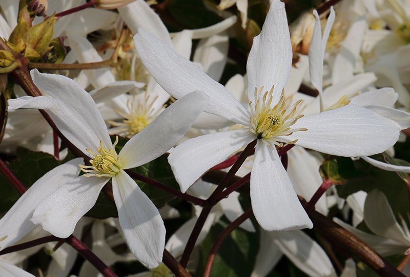 White flowers of Clematis armandi.