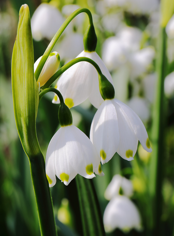 Leucojum flowers