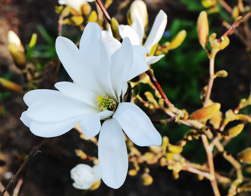 Magnolia stellata flower.