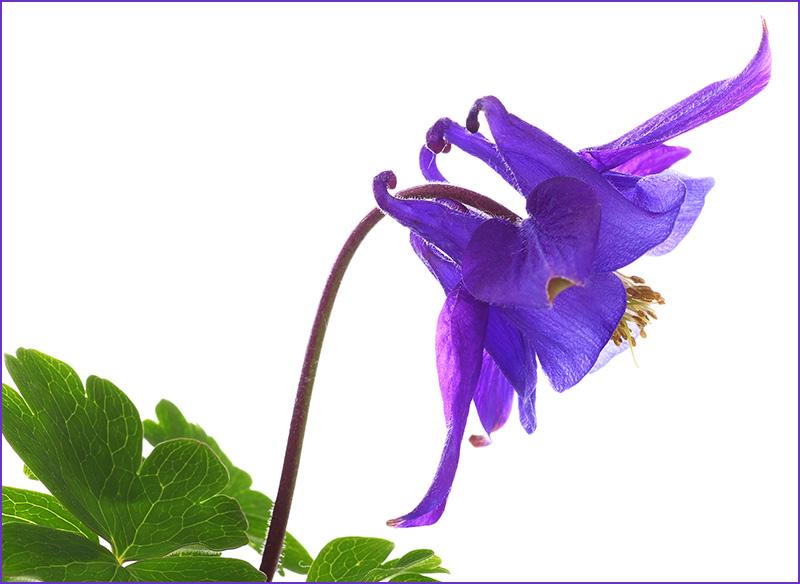Blue Aquilegia vulgaris (columbine)