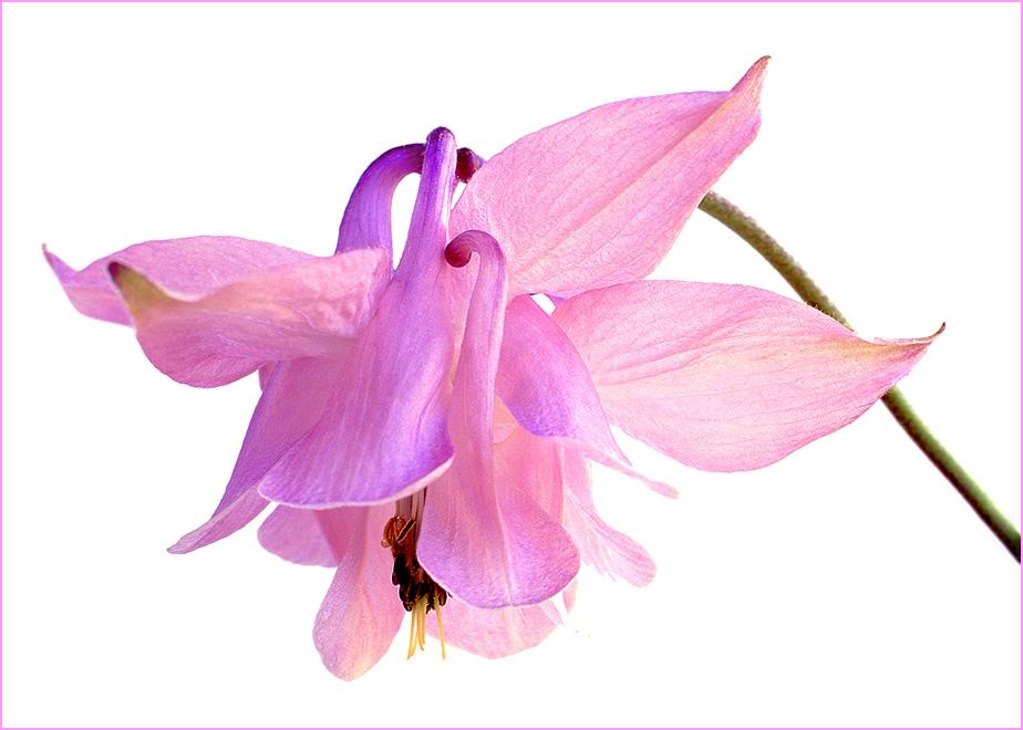 Pink Aquilegia vulgaris