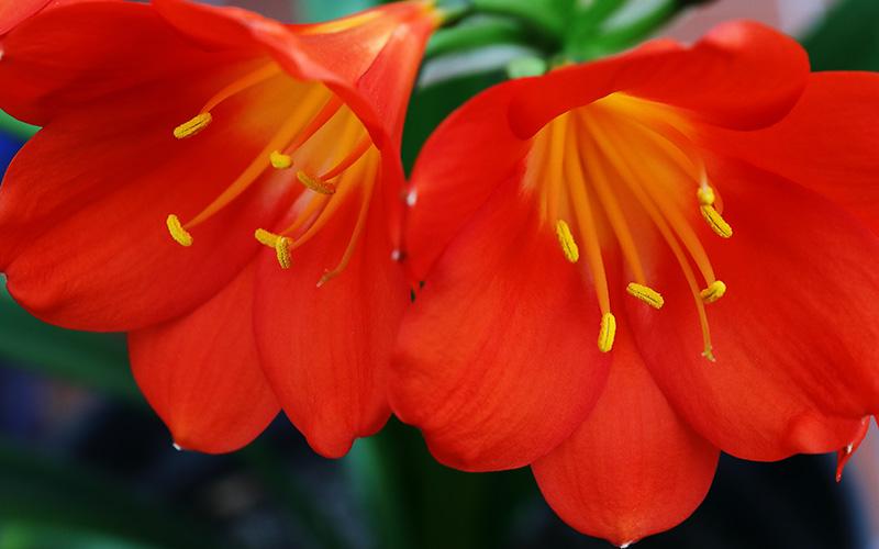 Clivia miniata flowers