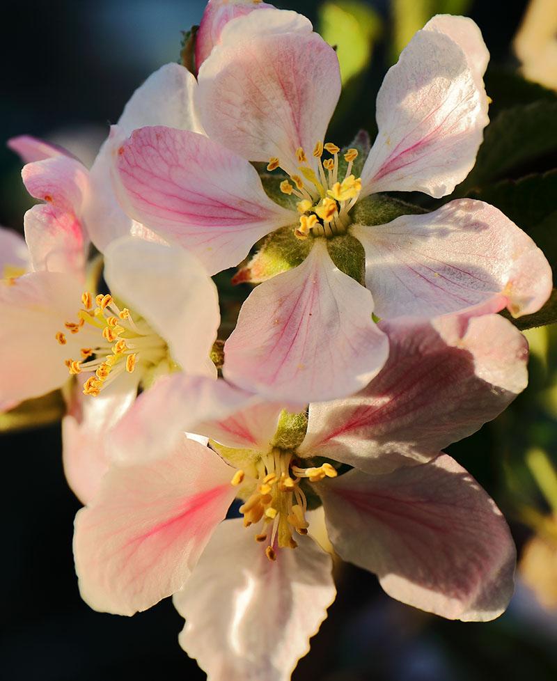 Blossom on a Braeburn apple tree.
