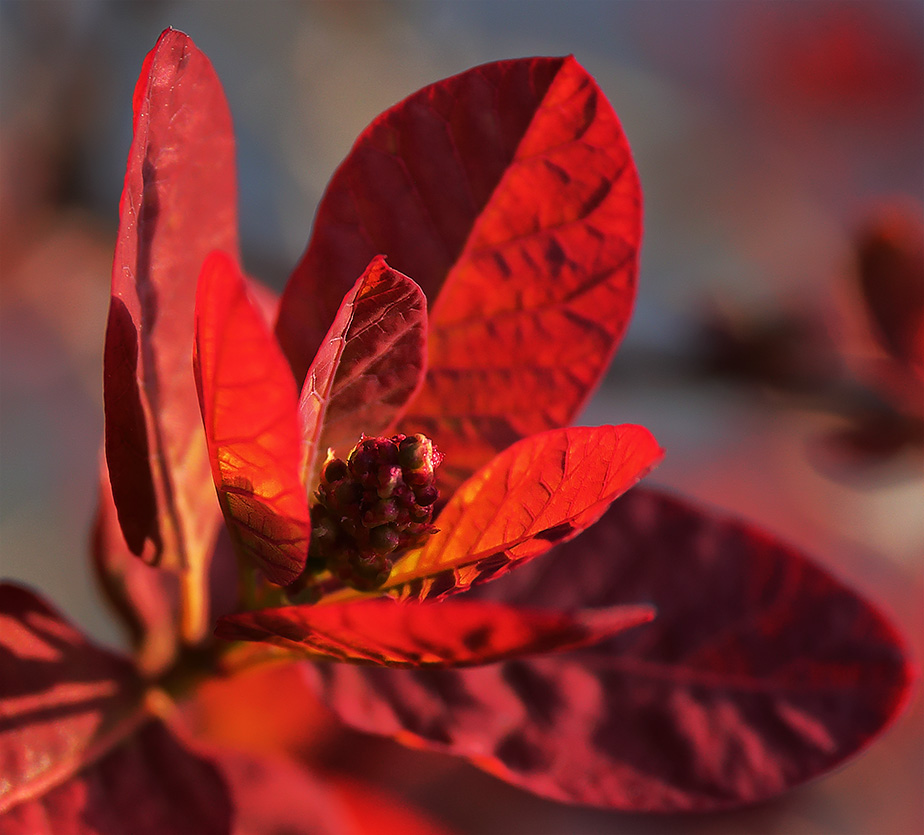 Leaves of the smoke bush (Cotinus coggygria)