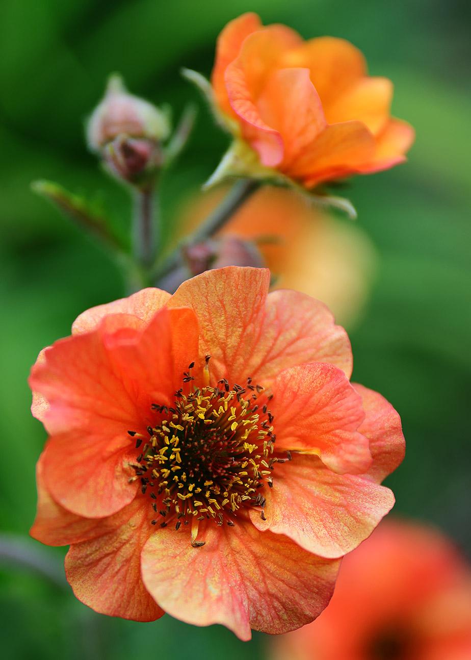The flowers of Geum 'Rijnstroom'