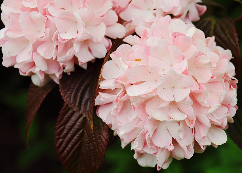 Viburnum plicatum flowers