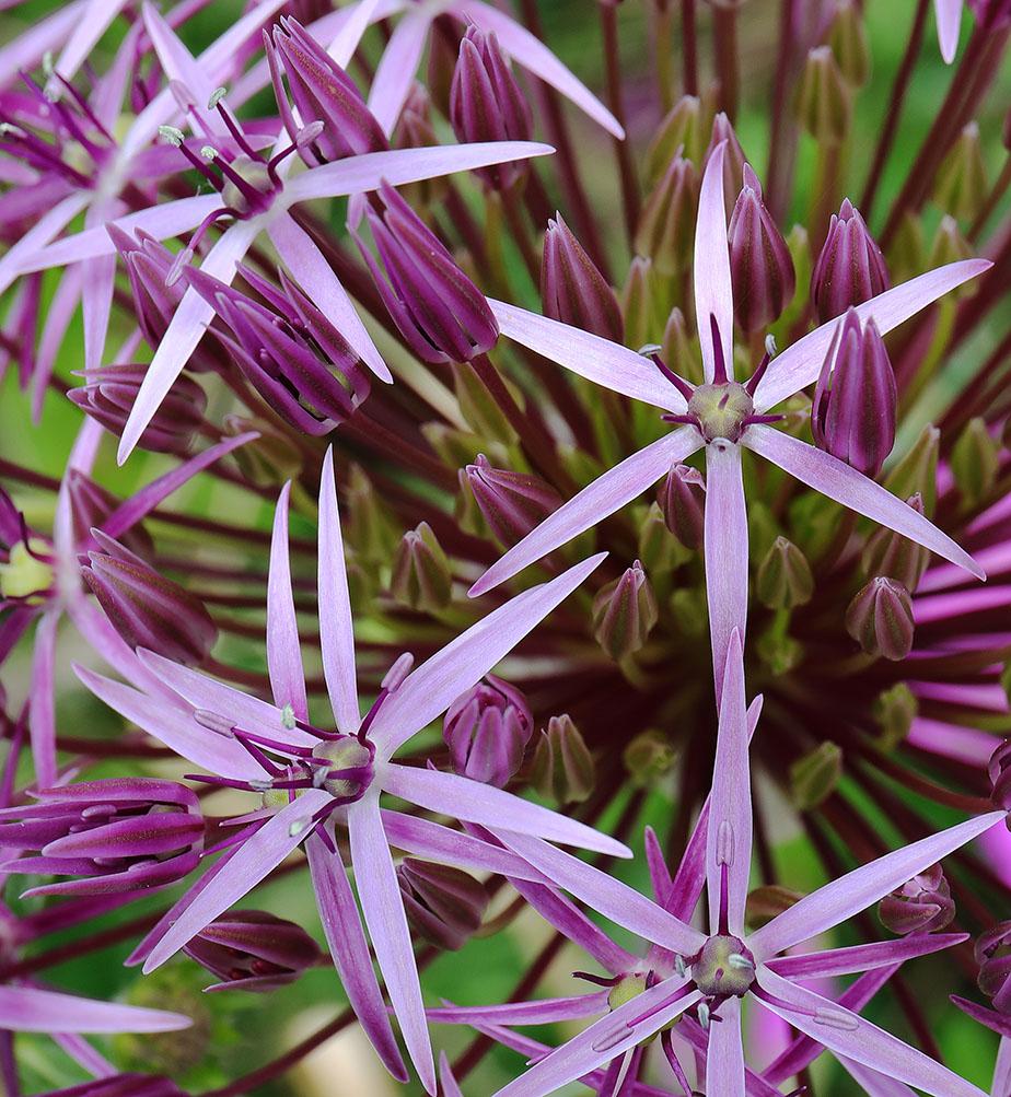 The star-shaped flowers of Allium christophii.
