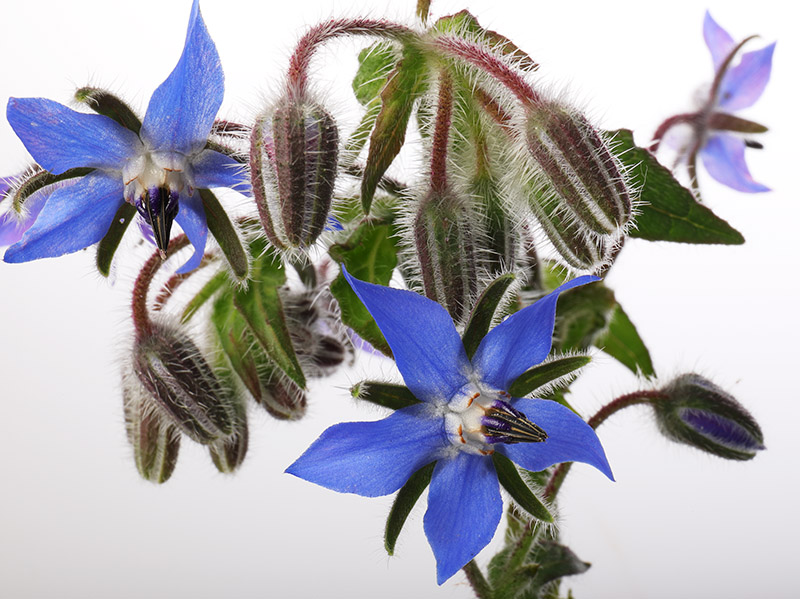 Flowers of borage (starflower)
