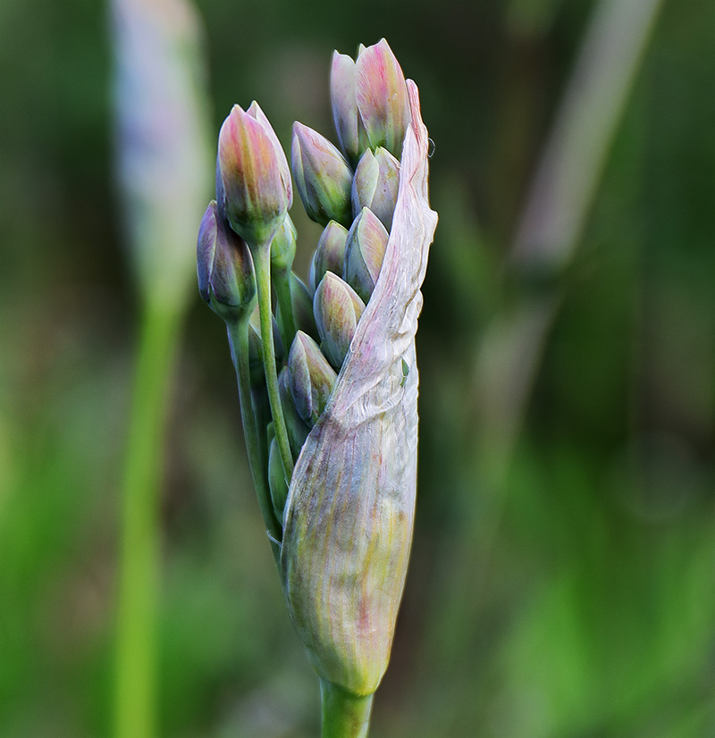 Nectaroscordum Buds 2