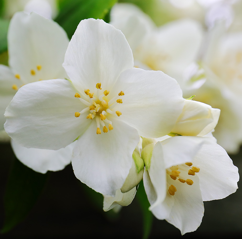 Philadelphus Coronarius flowers