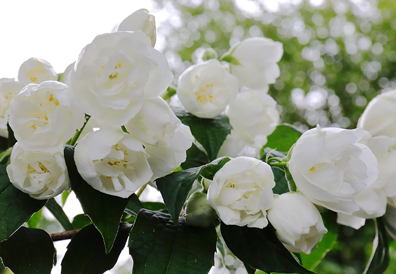White philadelphus (mock orange) flowers