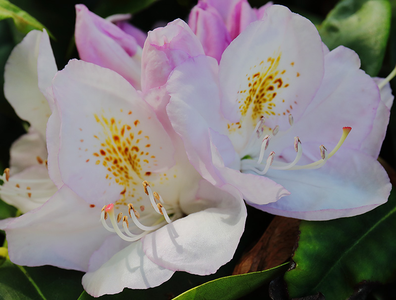 White rhododendron flowers tinted with pink