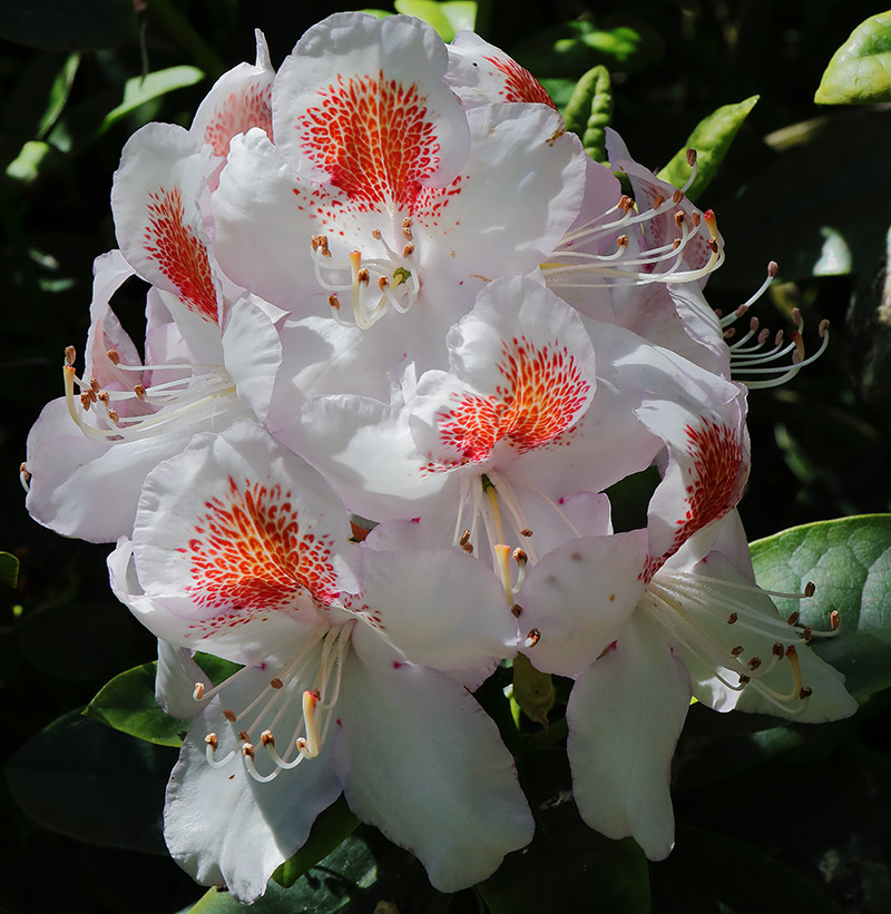 White rhododendron flowers with red/orange markings.