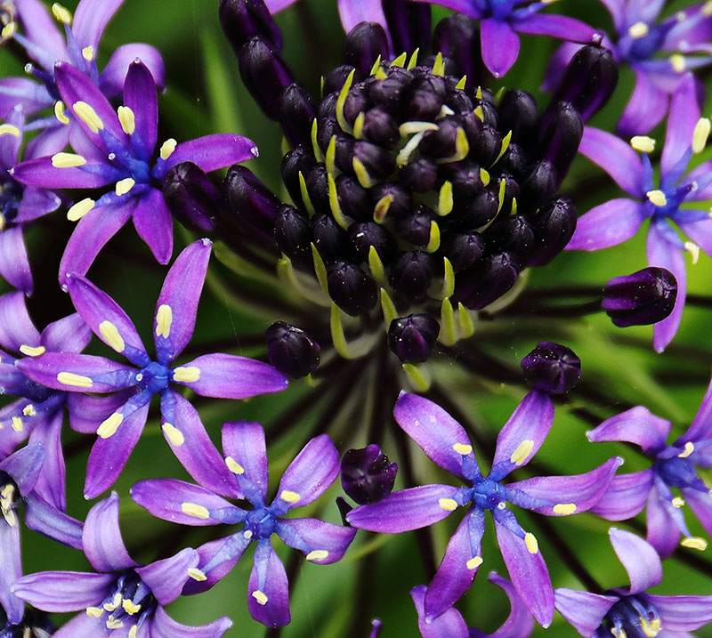 Flowers of Scilla peruviana
