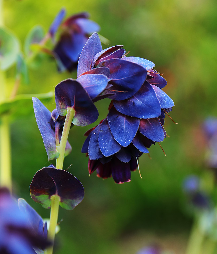 Cerinthe major 'Purpurascens' (Honeywort)