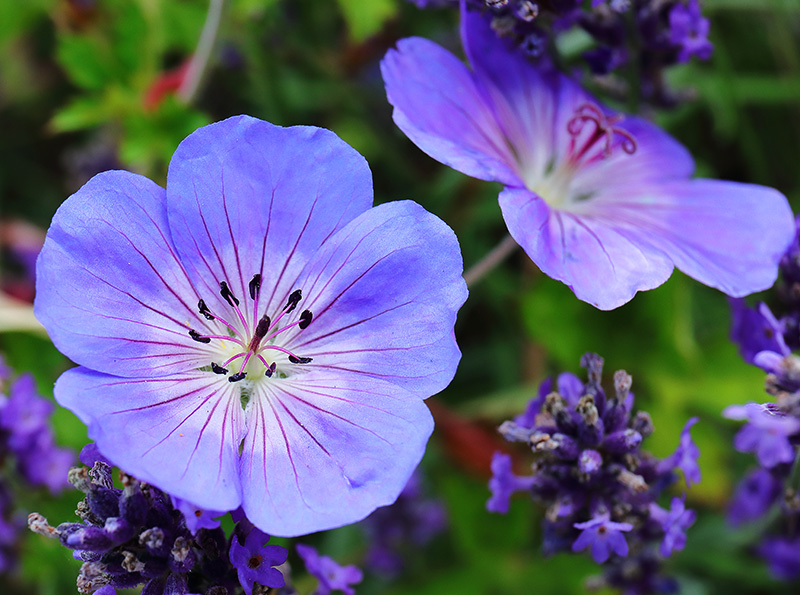 Flowers of Geranium 'Rozanne' with lavender.