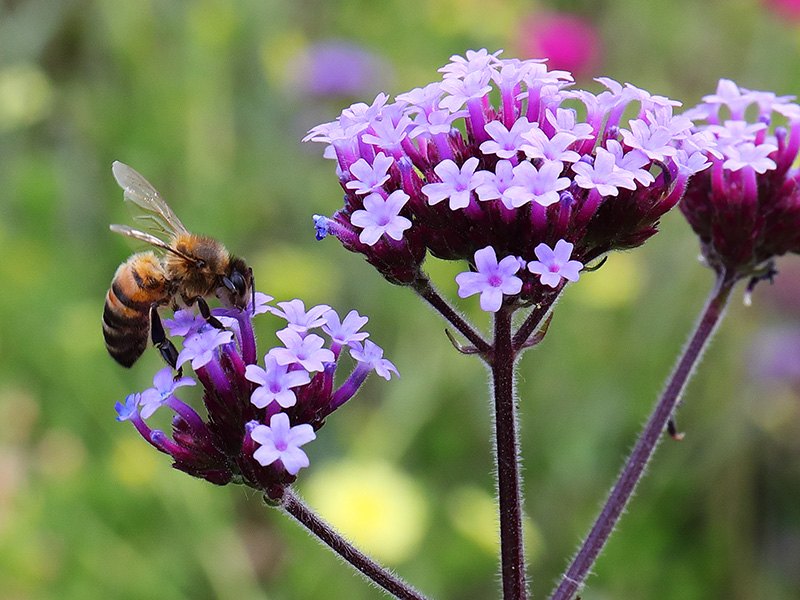 A bee on Verbena bonariensis