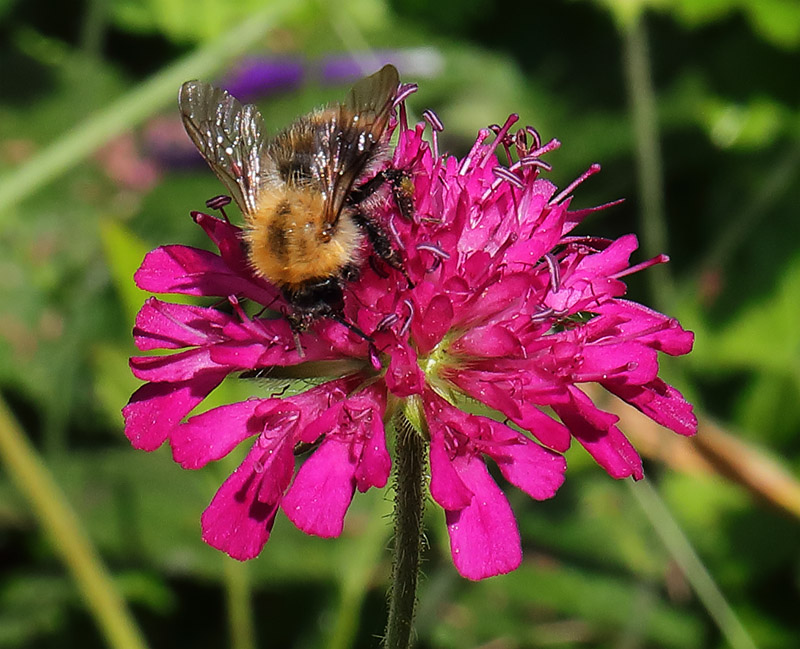 A bee on a red scabious flower (Knautia macedonica).