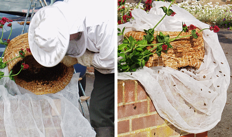 A beekeeper has caught a swarm of bees in a skep.