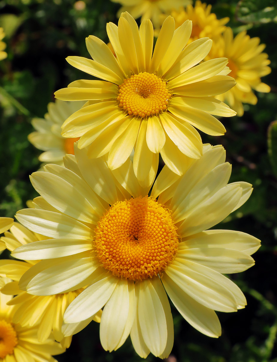 Daisies: Simple but Pretty