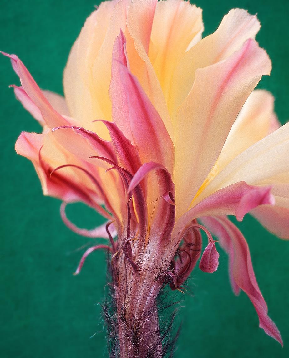 Yellow echinopsis cactus flower
