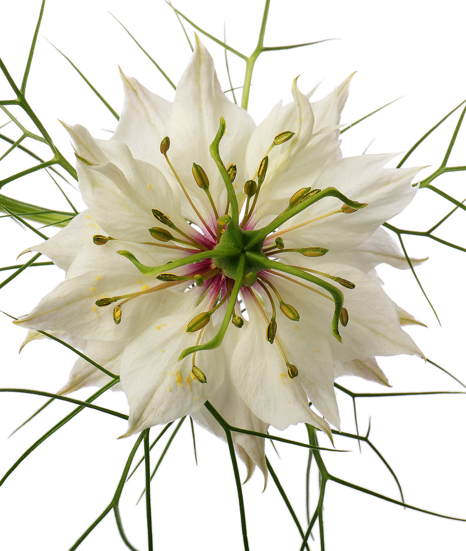 White nigella damascena flower