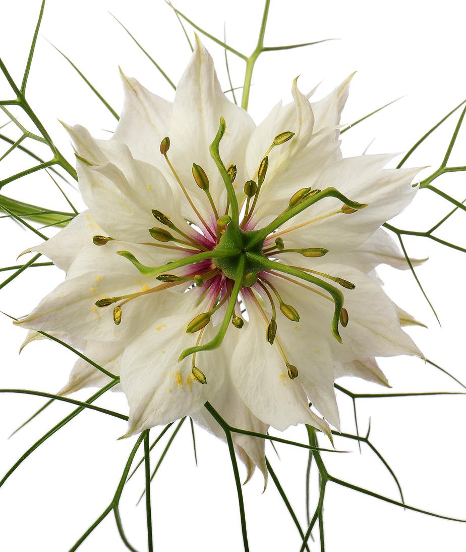 White nigella damascena flower