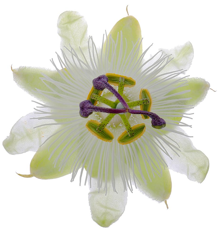 Passionflower Constance Elliot