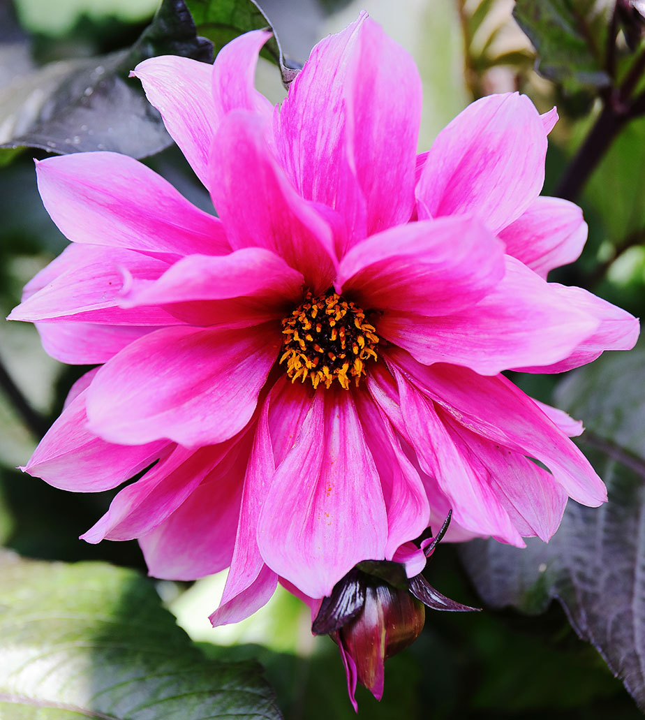 Rich With Colour: Dahlias