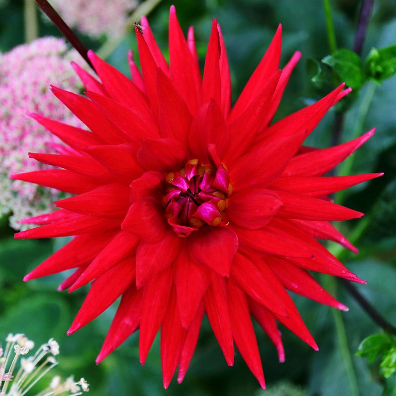 Dahlia-red-3077