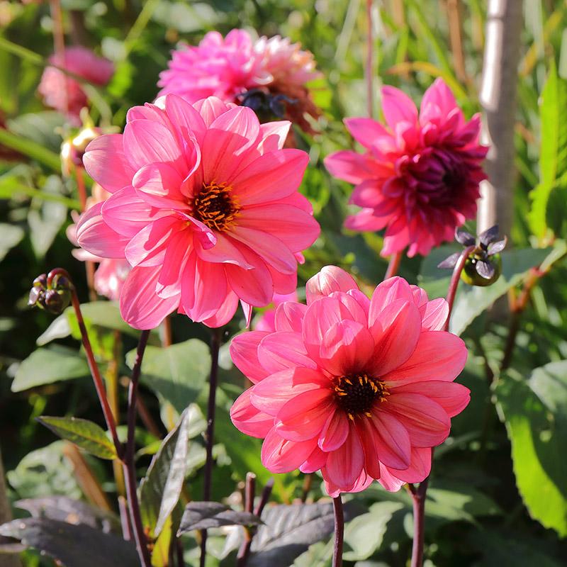 Dahlias-pink-3104