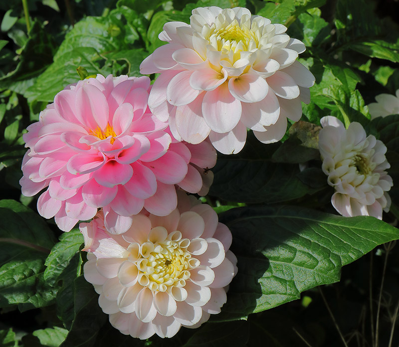 Dahlias-pink and white 3059