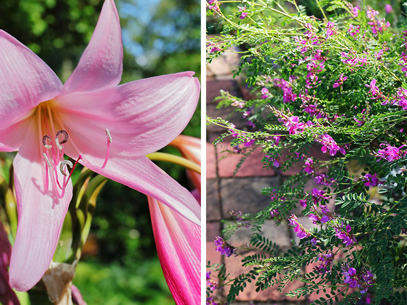 Pink flowers - lily and indigofera