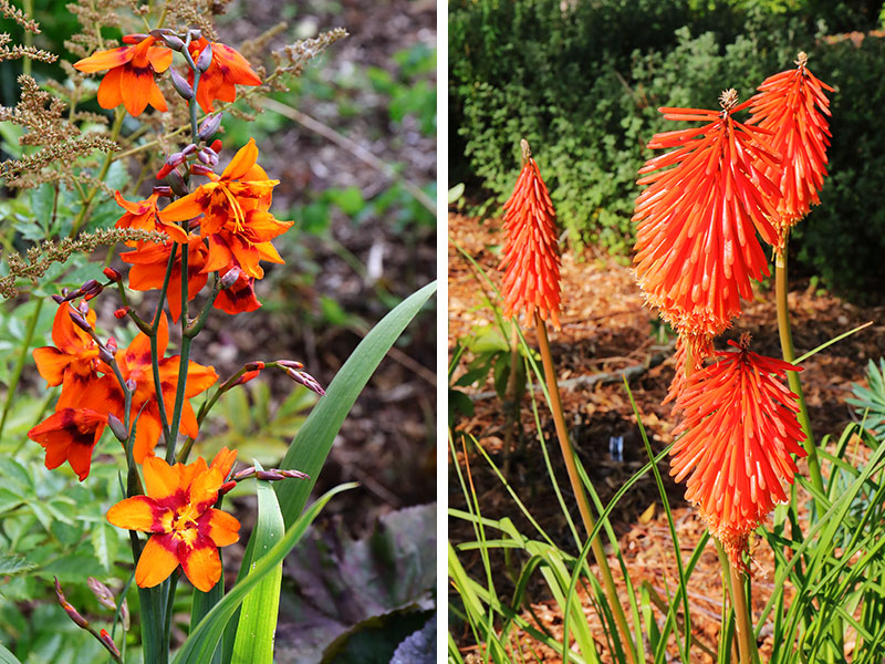 Orange-Crocosmia-Kniphofia-2-up