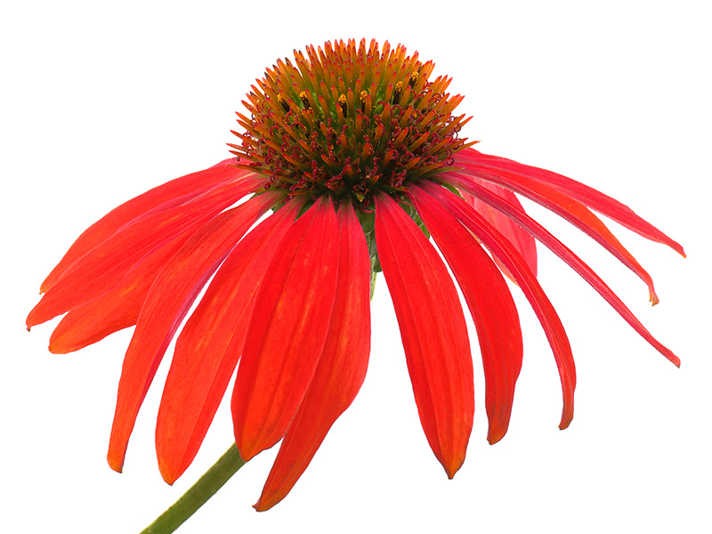 Orange Echinacea-2494