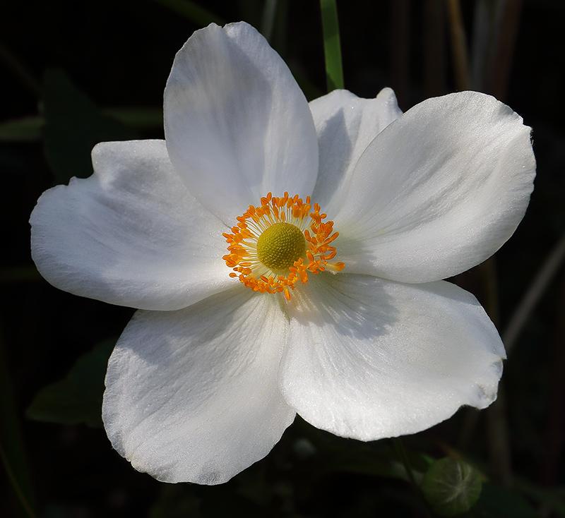 Anemone-white-2582