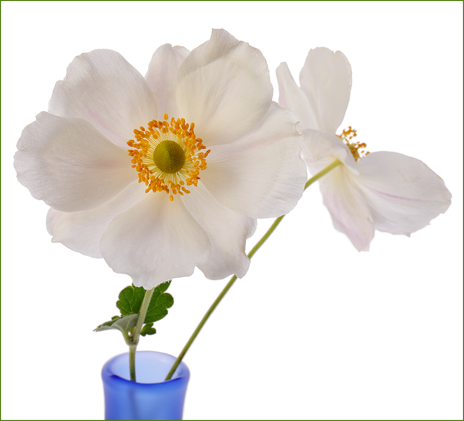 Japanese Anemones: A Dilemma