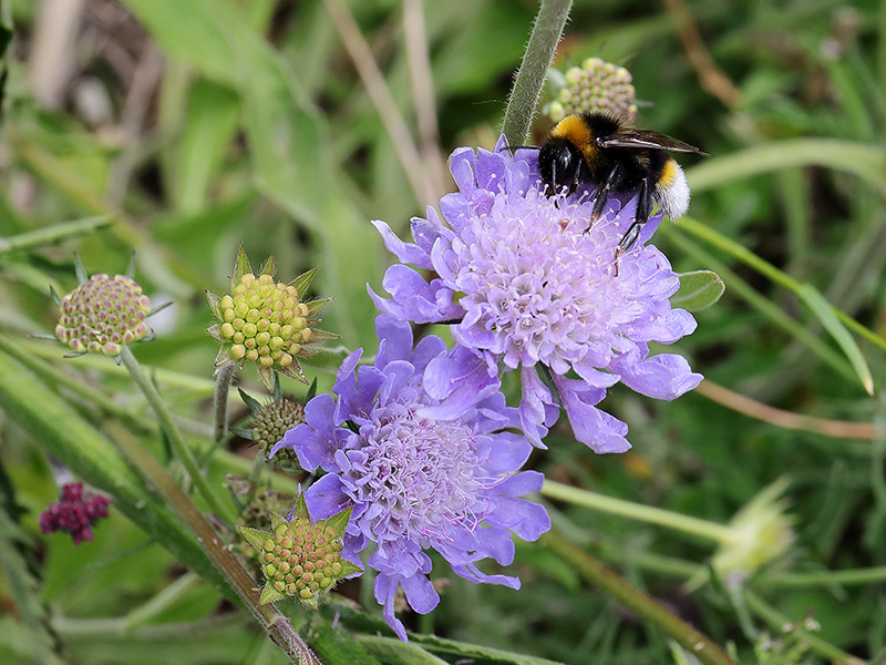 Bee on scabious flower.