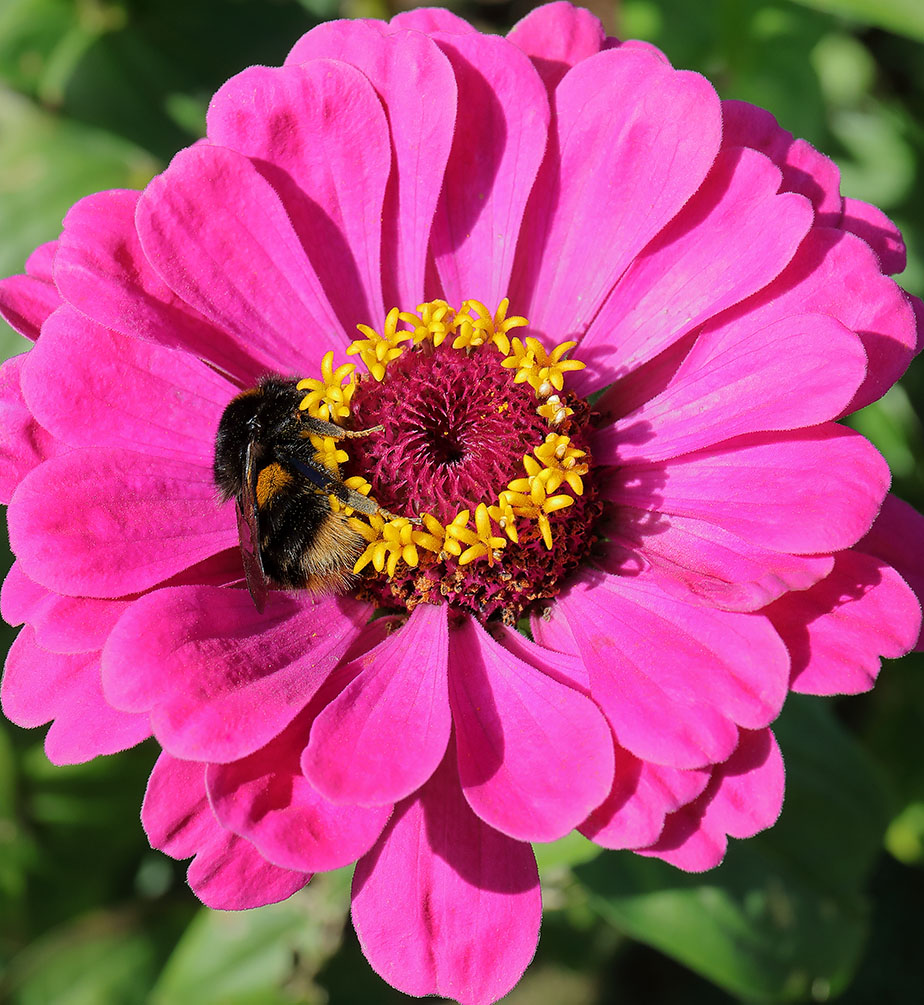 Bee sleeping in a zinnia flower.