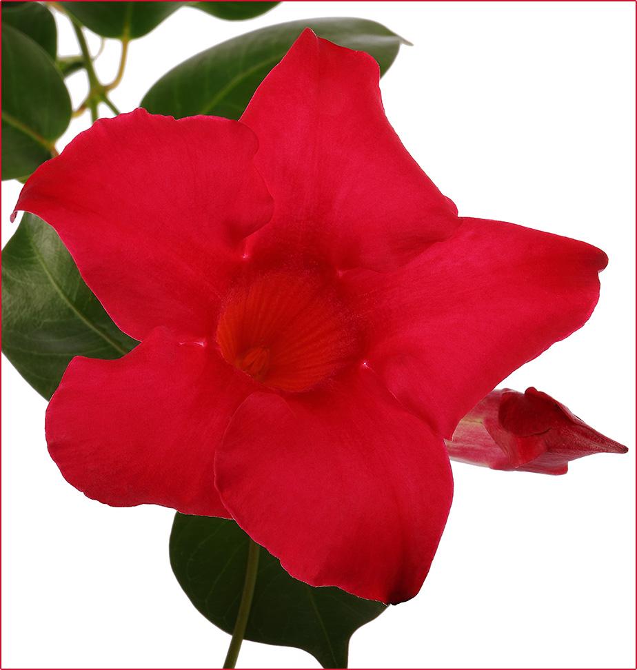 Tropical Beauty: RioDipladenia