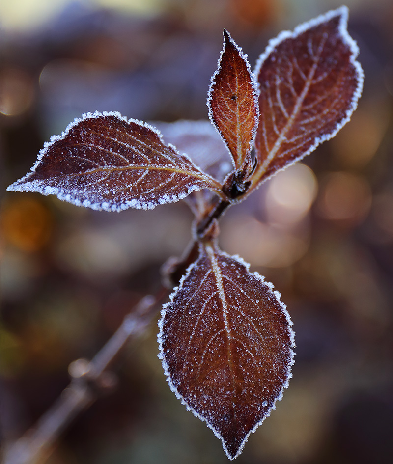 Frosted Weigela Leaf-3719-B