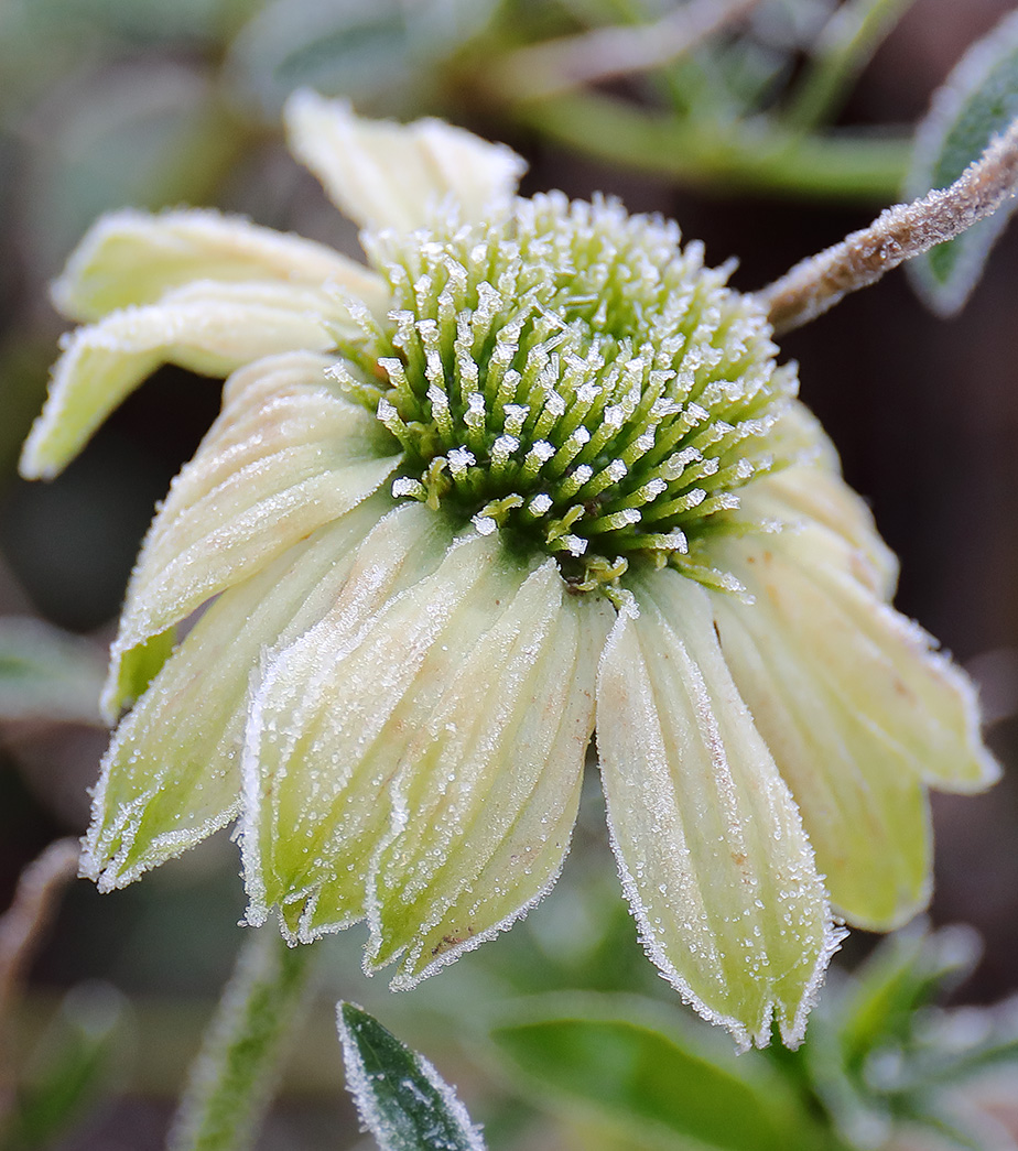 Frosted Echinacea-3737