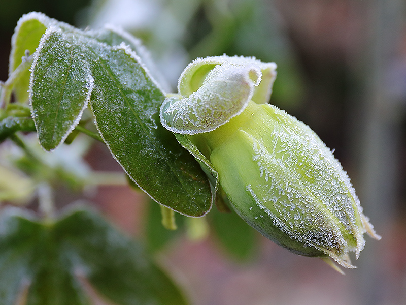 Frosted passionflower bud-3769